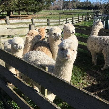 For Sale - Pet Alpacas image